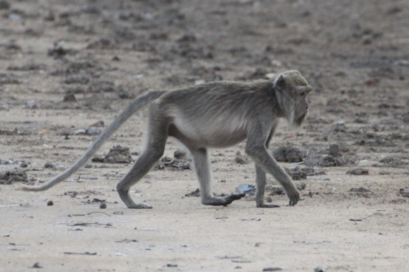 A macaque, our first monkey sighting in Indonesia! Rinca Island
